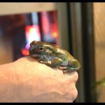White's Tree Frog Care