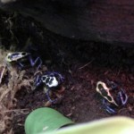 NEW: Poison dart frogs