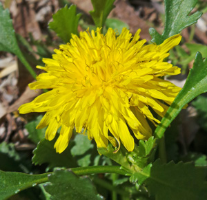 The leaves, flowers and roots of dandelion are edible.