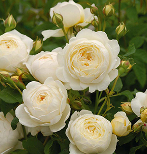Claire Austin English Climbing Rose