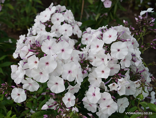 Phlox 'blue Ice' plants from Wimbee Creek Farm