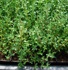 Thyme - Variegated Culinary