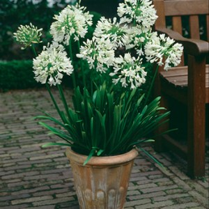 Agapanthus 'white superior' from Wimbee Creek Farm