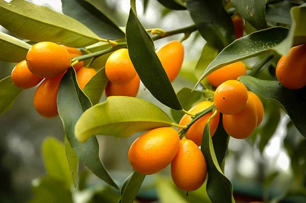 Nagami Kumquat Tree from Wimbee Creek Farm