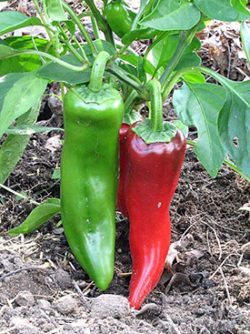 Tollie's Sweet Pepper