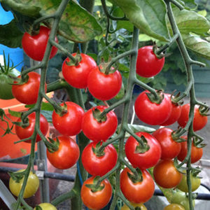 Super Sweet 100 Tomato