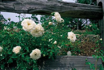 Prosperity will reach 8-12 feet as a climber and has clusters of blush rose blooms. From the rose gardens at Wimbee Creek Farm