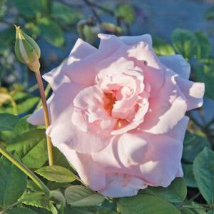 Maman Cochet is a stately, nearly thornless rose with delicate pick blooms from the gardens at Woimbee Creek Farm.