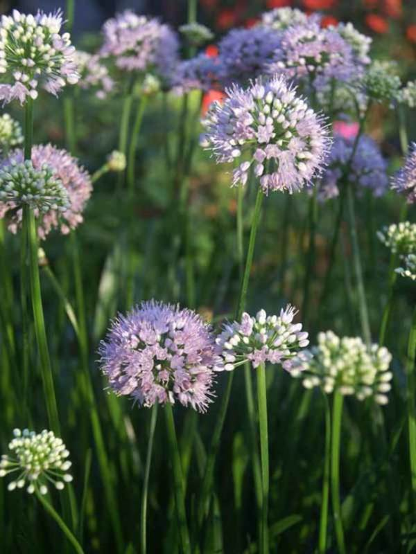 perennial for the cuttiomg garden wimbee creek farm allium 'summer beauty'