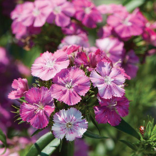 Dianthus Amazon Neon Rose Magic