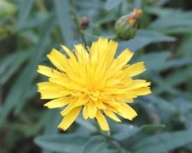 bloem stijfhavikskruid