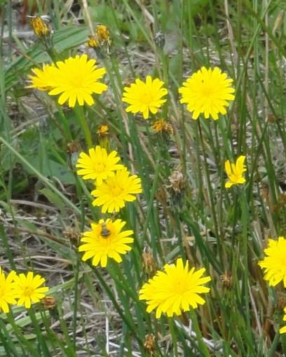 bloemen biggenkruid