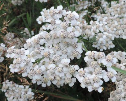 bloemen duizendblad