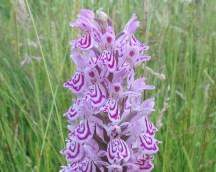bloemen gevlekte orchidee 2