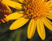bloemen kruiskruid fragment