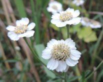 bloemen wilde bertram