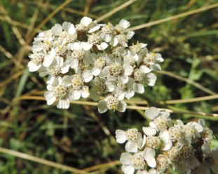 bloemscherm-duizendblad-2