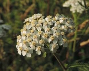bloemscherm-duizendblad-3