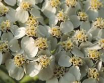 detail-bloemen-duizendblad-1