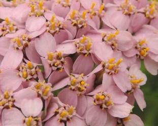 detail-bloemen-duizendblad-4