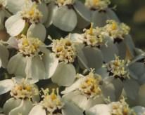 detail-bloemen-duizendblad