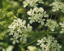detail-bloemen-fluitekruid