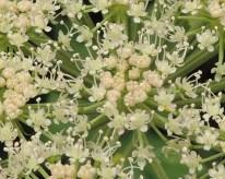 engelwortel-fragment-bloem
