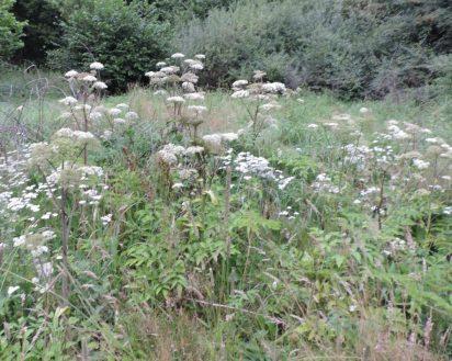 engelwortel groep in een grasruigte