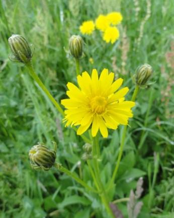knopeen en jonge bloem stijf havikskruid