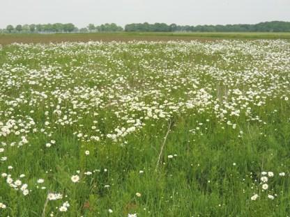 wilde-margriet-in-het-veld