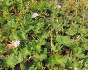 zachte-geranium-detail-plant