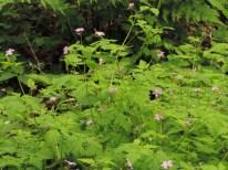 bloeiend robertskruid