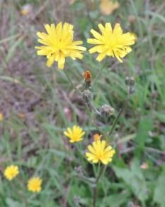 bloemen en knop klein streepzaad