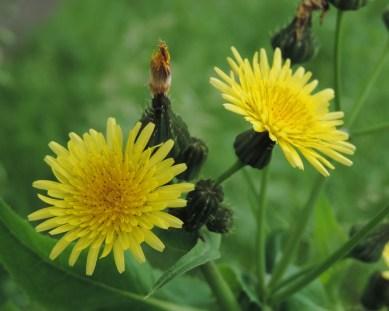 bloemen gewone distel