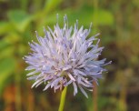 bloemen zandblauwtje (3)