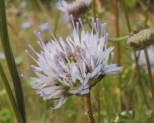 bloemen zandblauwtje (4)