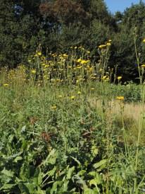 Sonchus arvensis (1)