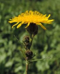 Sonchus arvensis (5)