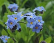 bloem vergeetmenietje