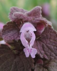 voor aanzijde bloem paarse dovenetel