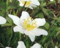 zijkant bloem bosanemone