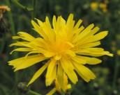 bloem streepzaad comp