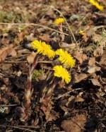 bloeiend klein hoefblad met bloemstelen