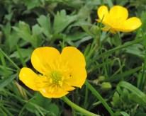 bloem kruipende boterbloem