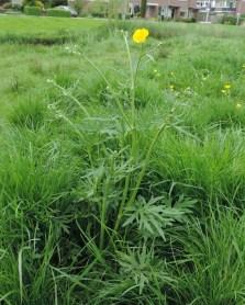 enkele plant scherpe boterbloemen