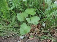 jonge bladen klein hoefblad