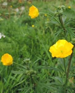 ontluikende bloemen scherpe boterbloem