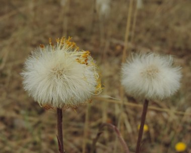 zaadbollen klein hoefblad