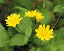 bloem-akkerkool-1