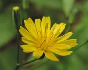 bloem-akkerkool-5